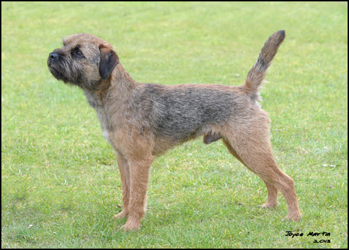 border terrier pictures