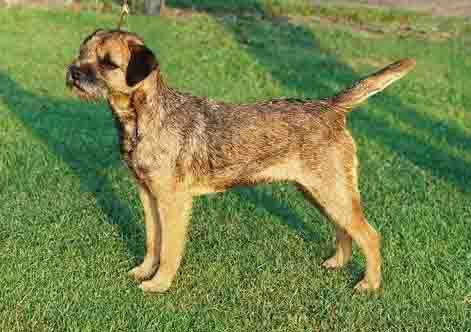 Border Terrier Photos Pictures